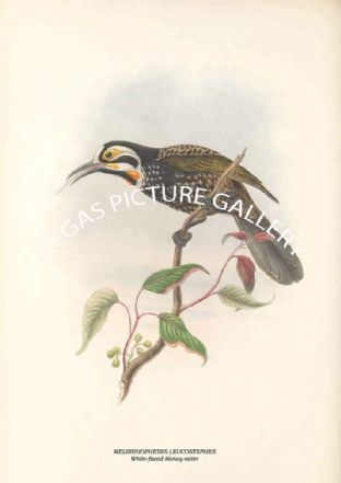 MELIRRHOPHETES LEUCOSTEPHES - White-faced Honey-eater